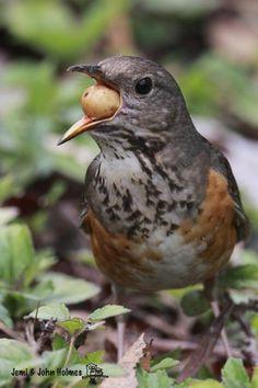 Grey-backed Thrush-John's Hong Kong Birding