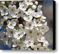 White Flowering Tree Flowers Stretched Canvas Print / Canvas Art By Ps Photography