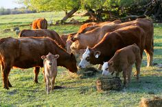 Feeding cattle in the winter can be the single, largest expense for producers. This year grazing might continue until Thanksgiving, due to improved moisture conditions. Pastures that have received nitrogen and been allowed to accumulate growth can be grazed even farther into the winter, thus markedly delaying the start of winter feeding.