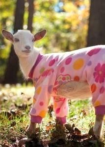 OMG, goat pajamas! No playin in the mud!! #babygoatfarm