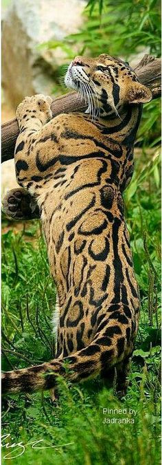4acffa48ee05 young male clouded leopard (Neofelis nebulosa) PhotoDragonBird on  DeviantArt animal pet amazing adorable cute big cat nature Pinned by Green  Mountain Lodges ...