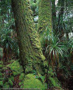 King Billy Pine AUSTRALIA, Tasmania, Franklin-Gordon Wild Rivers National Park, World Heritage Area.