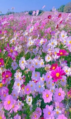 Wonderful Pictures flower garden aesthetic Concepts Best wishes! You decide to begin an organic and natural trim floral backyard (or almost any garden)! Cosmos Flowers, Amazing Flowers, Pretty Flowers, Purple Flowers, Field Of Flowers, Beautiful Landscapes, Beautiful Gardens, Beautiful Things, Wild Flower Meadow