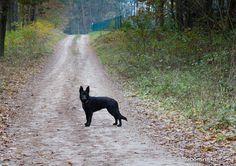 #black german shepherd #puppy #black dog