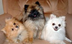 pomeranians - to choose just one would be awful hard..