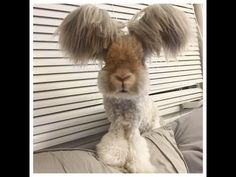 Wally the Angora Rabbit With The Biggest Wing