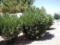 Easy Desert Plants: Oleander