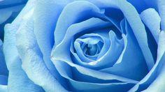 Wallpaper: http://desktoppapers.co/ne44-flower-blue-rose-zoom-love/ via http://DesktopPapers.co : ne44-flower-blue-rose-zoom-love