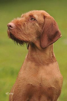 Hungarian wirehair vizsla. This is what my boy's sire looks like.