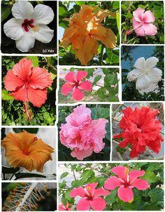 Dominican flowers.cayenas Republica Dominicana