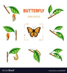 Butterfly life circle insect transformation larva on leaf Illustration , Hungry Caterpillar Craft, Trans Art, Butterfly Life Cycle, Leaf Illustration, Life Cycles, Vector Free, Lauren Hill, Sketchbooks, Insects