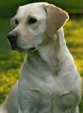 Breed traits of the Labrador Retriever ... pay attention to the phrase 'remains a spirited teenager for several years!