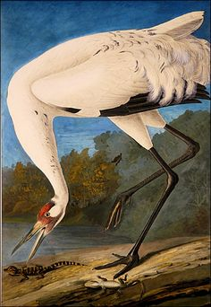 """Whooping Crane by John James Audubon, seeing the """"whoopers"""" at Bosque del Apache in the '90's bring back sweet memories"""