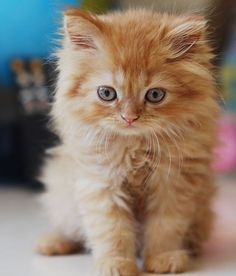 These cute kittens will make you amazed. Cats are incredible companions. Cute Kittens, Fluffy Kittens, Kittens And Puppies, Fluffy Pets, Kittens Cutest Baby, Baby Cats, Pretty Cats, Beautiful Cats, Animals Beautiful