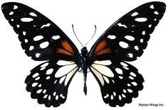 Insect Butterfly Moth Papilionidae Papilio rex rex-Tanzania-Rare ...