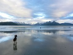 Billy the springer spaniel - NOT going for a swim, Loppa, Northern Norway
