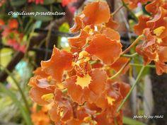 Oncidium Orchids | Purple Seamed Oncidium , Oncidium praetextum