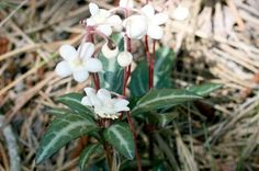 Spotted pipsissewa, or spotted wintergreen, is a potent little plant.