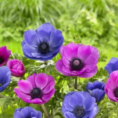 Anemone Mr Fokker/Sylphide. A stunning pair of anemones in colors that harmonize yet also vibrate with energy. Great companions for tulips in the garden or in pots.