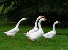 I have always wanted some guard geese!