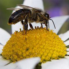 La polinización es un proceso obligado para la formación de semillas, mientras unas plantas necesitan obligatoriamente que un polinizador transporte el polen entre flores, otras lo hacen de forma espontánea. De cualquier manera es necesario fomentar la presencia de insectos polinizadores en el campo.