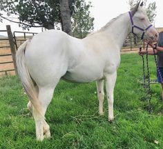 For sale - Flashy medicine hat yearling overo filly. Nettie is a gorgeous, big balanced filly with a doll faced head and huge hip! She travels collected and glides with the smoothness of her parents. She is halter broke, leads and ties and retains her training. Nettie has one blue eye, dark ears, and dark spots on her chest and hip. Huge Hips, American Paint Horse, War Bonnet, Horses For Sale, Dark Spots, Doll Face, Ears, Parents, Medicine