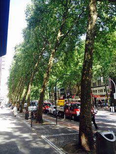 Platanenboulevard in #Köln. Ein Hauch Paris...