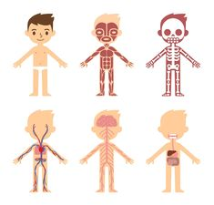 Muscles Of The Body Diagram For Kids . Muscles Of The Body Diagram For Kids Learning About The Body At Primary School Senses Human Human Skeleton Anatomy, Human Anatomy Drawing, Human Body Anatomy, Muscle Anatomy, Human Body Crafts, Preschool Number Worksheets, Body Diagram, Human Body Systems, Charts For Kids