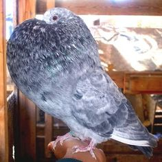 Gaditano Pouter Pigeon (Spanish Breed)