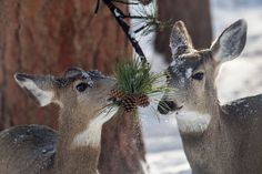 "typhlonectes: ""  Mule Deer (Odocoileus hemionus) graze on pine needles at Rocky Mountain National Park, CO, USA photograph via: National Park Service """