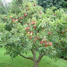 How to Grow Honeycrisp Apple Trees. So excited for our tree to start producing fruit in a few years! (how to growing fruit trees) Apple Tree, Backyard Plants, Growing Fruit Trees, Apple Tree Gardening, Plants, Tree Pruning, Trees To Plant, Apple Tree Care, Fruit Trees Backyard