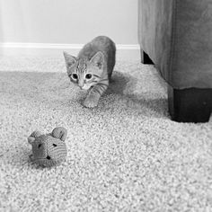 Cat Spends Hours Stalking Toy Mouse Damocles the cat was...