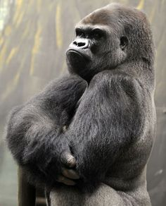 Ya Kwanza, a silverback gorilla male, stands in its new enclosure at the Amneville zoo in eastern France. Ya Kwanza arrived with seven other gorillas from other western zoos, as part of a the European breeding of Endangered species Programme (EEP) to promote their breeding.  Picture: JEAN-CHRISTOPHE VERHAEGEN/AFP/Getty Images