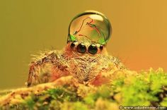 Jumping Spiders Water Drops Playful