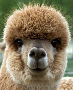 Alpaca's are crazy cute!!!
