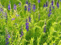 7 Smokable Plants You Can Grow That Aren't Marijuana - Modern Farmer Types Of Sage, Types Of Herbs, Types Of Plants, Salvia Divinorum, Pineapple Sage, Modern Farmer, Marijuana Plants, Cannabis Growing, Growing Seeds