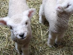 """Sheep and lambs are being brutally tortured on ranches claiming to """"responsibly source"""" their wool. Urge authorities to investigate these ranches and put an end to the horrific abuse, neglect and mutilation of innocent animals."""