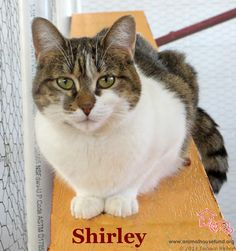 Shirley has been adopted! Sweet Shirley came to us as a kitten. She had been taped up in a box with four other kittens and left in a dumpster on a VERY hot August day. They were found by a neighbor and AH was alerted. All were COVERED in fleas, way overheated, hungry, dehydrated and almost dead. Happily all of the kitties survived and Shirley is the 3rd of the five to be adopted. Shirley is quiet and sweet,cuddly and loving. A joy of a kitty who will bring nothing but pleasure to her new…