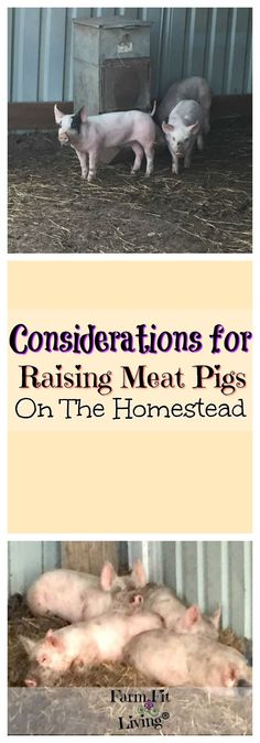 Considerations for Raising Meat Pigs on the Homestead