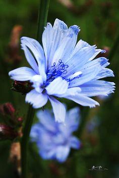 'Blue wild flower' by Antanas Amazing Flowers, Wild Flowers, Beautiful Flowers, Flowers Nature, Jungle Flowers, Growing Flowers, Planting Flowers, Thistle Plant, Flower Garden Design