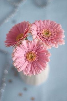 Pretty Pink Gerbrea Daisies -A Texas Girl's Favorites