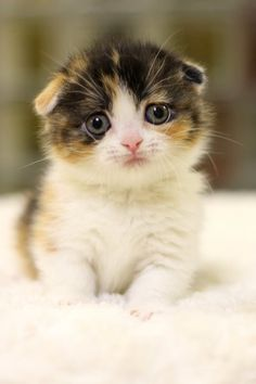 Scottish fold kitten - when I see this, I make that high pitch squeal cause its just so gosh darn cute!
