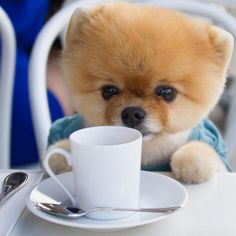 Everything we all love about the Cute Pomeranian Puppy More About Inquisitive Pomeranian Dogs Baby Animals Super Cute, Cute Baby Dogs, Cute Little Puppies, Cute Dogs And Puppies, Cute Little Animals, Cute Funny Animals, Pet Dogs, Baby Animals Pictures, Cute Animal Photos