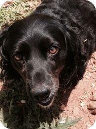Meet Puddles a Dog for Adoption. Simpsonville South Carolina, Black Cocker Spaniel, Dachshund Mix, Spaniels, Dog Quotes, Pet Adoption, Ali, Meet, Puppies