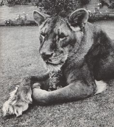 From the 1968 Reader's Digest: Little Tyke is the name of this lioness, born in the zoo at Tacoma, Washington. Nursed for a broken leg, she became a rancher's house pet, enjoying perfume, flowers, her own bed, a diet of milk and cereal. She never touches meat-which may account for the complacency of her kitten friend.