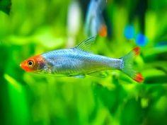 красивые аквариумные рыбки, Савбва, Sawbwa resplendens, aquarium fish