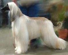 I always wanted an afghan hound when I was a little girl. My lovely husband presented me with one on our first Christmas together (mine was black and white but I couldn't find a picture of the color - the blonde ones are gorgeous, too!)