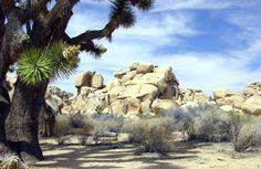 A Joshua tree casts rare shade over the desert. Photo by Don Graham.