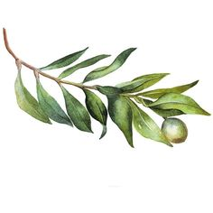 Olive Branch watercolor painting original ($10) ❤ liked on Polyvore featuring home, home decor, wall art, watercolour painting, water color painting, water colour painting, watercolor painting and watercolor wall art