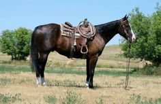 9 Year Old Ranch and Rope Gelding for Sale - For more information click on the image or see ad # 35830 on www.RanchWorldAds.com